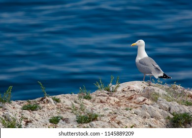 Seagull on the rock and water background