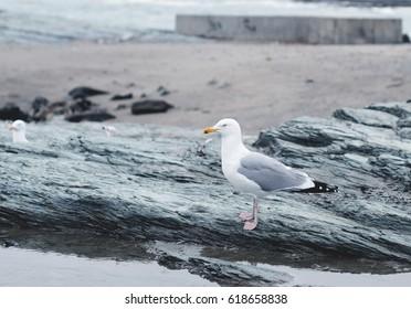 Seagull on rocks in Newport, Rhode Island