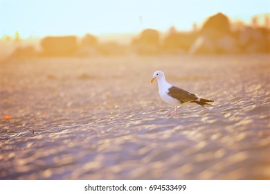Seagull on San Diego beach