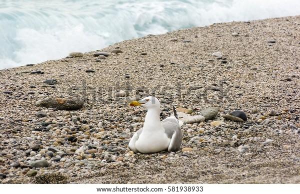 Seagull on sandy beach sea front
