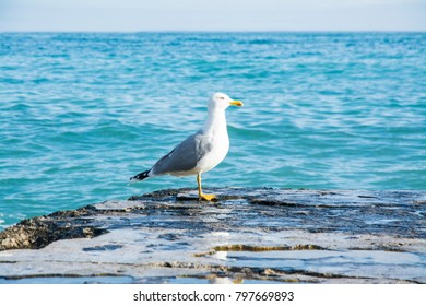 Seagull on the sea.