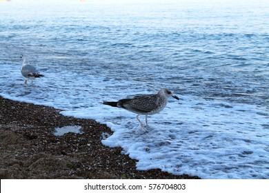 Seagull on the shore of the Black Sea