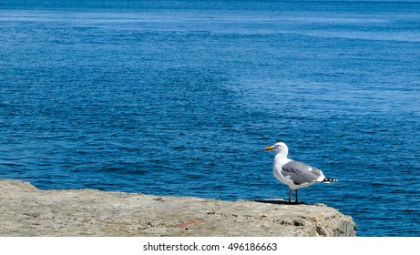 Seagull on stone at the sea.