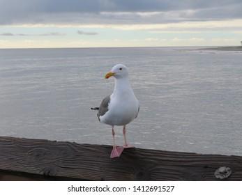 Seagull on the Ventura pier in Ventura, California