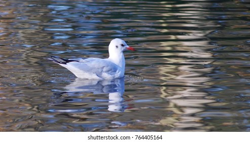 Seagull on the water