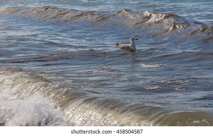 Seagull on a wave. Baltic Sea. Warnem�¼nde in Germany