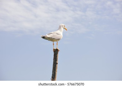 Seagull On Wood, Background, Italy, Venice