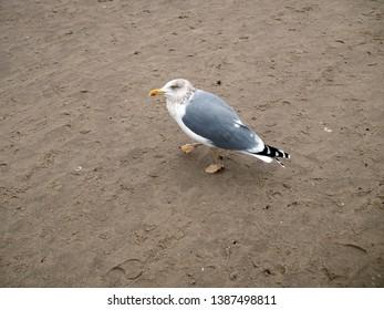 Seagull ona the beach, one bird standing on the sand
