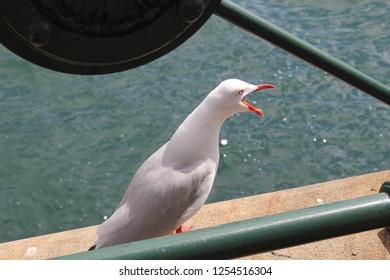 Seagull with open beak, Sydney, Australia