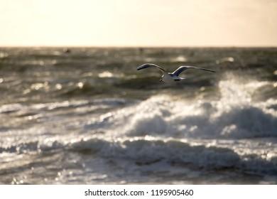 Seagull over the North Sea island Sylt