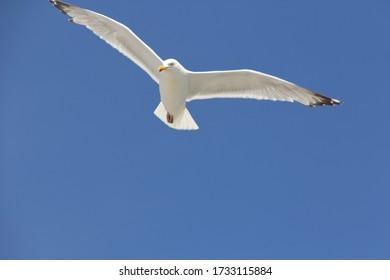 Seagull over Nova Scotia Coast