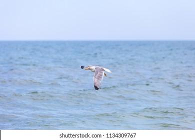 Seagull over sea - seascape