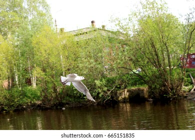 Seagull over the water in Russia