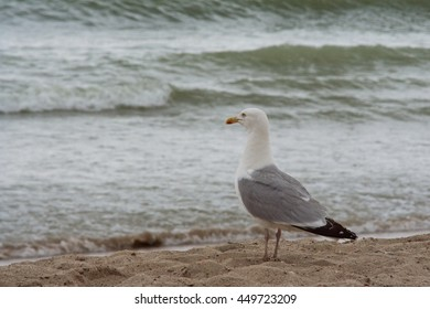 Seagull overlooking the sea