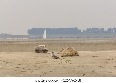 A seagull is passing two seals enjoying the sun on a sandbank in nature reserve the Oosterschelde in the Netherlands