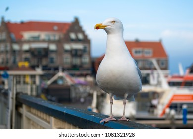 A seagull perched on a balcony in the port of Volendam, Netherlands.