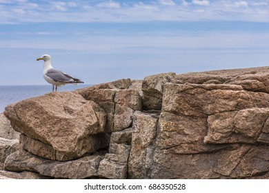 A seagull perched on a rocky ledge in Acadia National Park, Maine, United States with ocean and sky visible