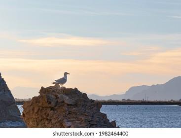 Seagull perched at sunset on a rock in the Salinas de Santa Pola, Alicante province, Comunidad, Autonoma Valenciana, Spain - Shutterstock ID 1982464400