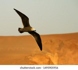 Seagull in peru in South America