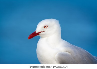 Seagull photographed side-on on a blue background.  Just the head, neck and top of the wing is visible