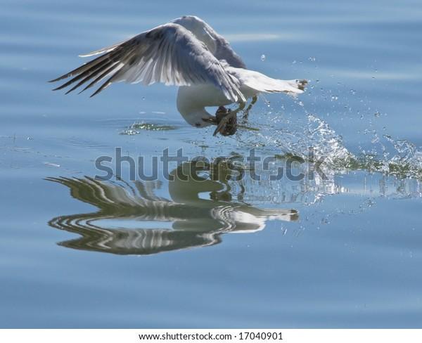 seagull-picking-food-water-flight-600w-1