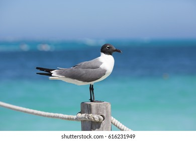 Seagull portrait against a turquoise water. The Caribbean sea on the background. The bird is standing on a wooden pole.