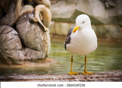 seagull portrait in roman fountain in  navona
