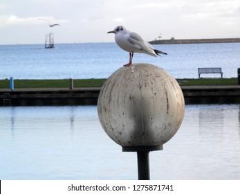 Seagull posing on round bollard in Dutch seaside town
