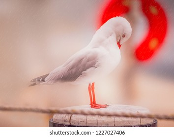 A seagull with red legs and a red beak bends his head to try and shelter from the rain. He is standing on a wooden post with a rope defocused in front and a red safety ring behind him