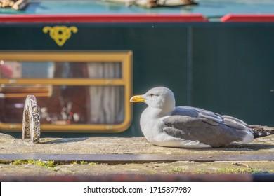 Seagull resting alongside Bristol Harbour.