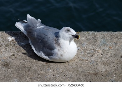 Seagull resting on concrete side looking up at the camera with head tilted to one side