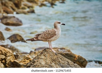Seagull Resting on a Stone near the Sea