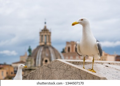 Seagull in Rome on a rooftop with buildings in the background