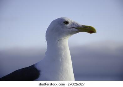 Seagull at San Francisco Bay
