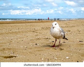 A seagull in Scheveningen beach, The Hague, Netherlands