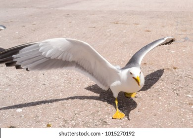 Seagull searching for some food. Bird Seagull wide open wings. Seagull angry looking at camera.