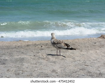 Seagull at the shore of a beach