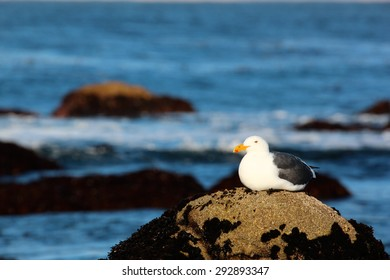 Seagull sitting on a beach rock by the ocean at sunrise.
