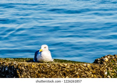Seagull sitting at the shore of the Oosterschelde at Neeltje Jans island in Zeeand Province in the Netherlands