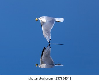 Seagull skimming low over calm water with a reflection in the glassy mirror-like surface
