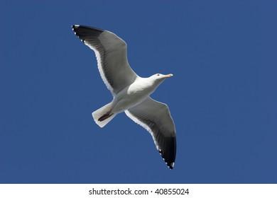 Seagull Soaring