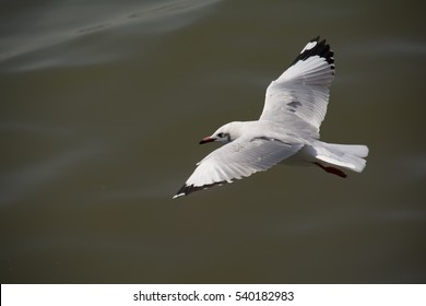 Seagull soaring above the surface of water in Bang Pu, Thailand.