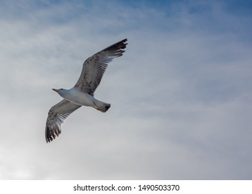 Seagull soaring in flight on lightly clouded blue sky