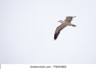 seagull soaring to the left