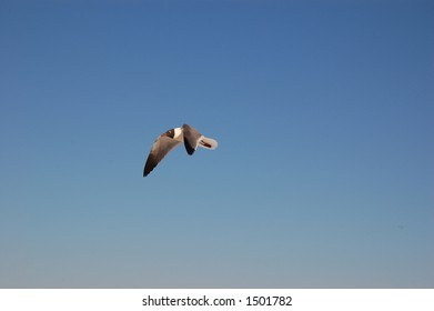 Seagull soaring over Pensacola beach