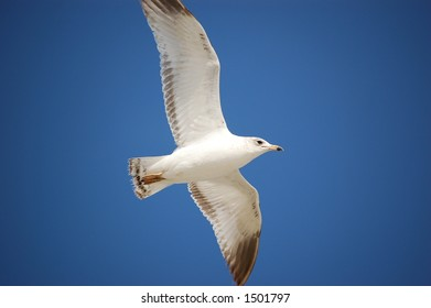 Seagull soaring over Ponce Inlet Florida beach