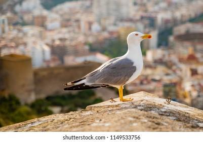 Seagull in Spain