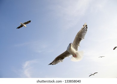 Seagull spread the wings fly on Blue Sky and White Cloud.