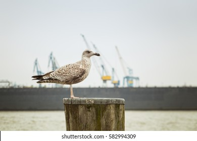 A seagull at St. Pauli in Hamburg, with cranes in the background