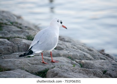 Seagull standing by river